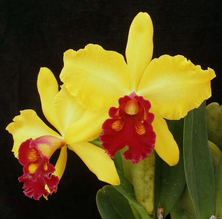 The hackneaus gallery of cattleya orchid hybrid photos for Orchidea cattleya