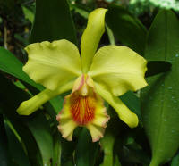 BLC Xanthette 'Chartreuse' orchid hybrid