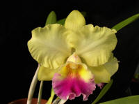 Blc Goldenzelle 'Hackneau' orchid hybrid