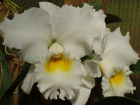 Cattleya Nancy Off '1010' orchid hybrid