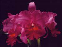 Cattleya Nigrescent 'Troubadore'