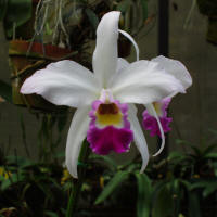LC Higher Ground 'Hardy Heritage' orchid hybrid