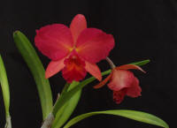 Pot (BLC George King x SLC Tangerine Jewel) orchid hybrid