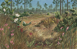 watercolor painting of the green swamp with carnivorous plants and orchids. Long leaf Pine savannah