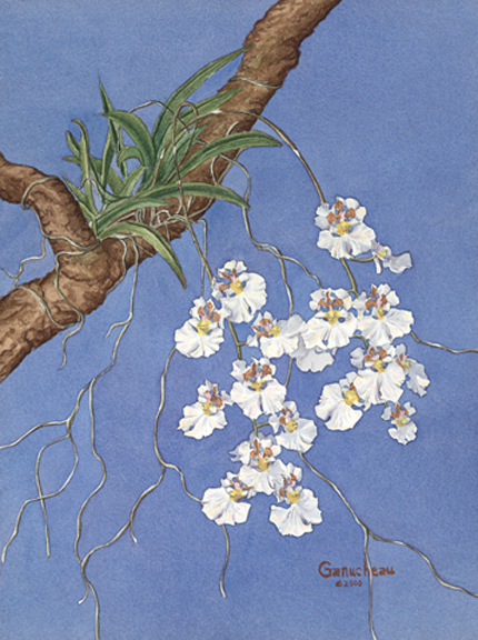 Oncidium orchid equitant art watercolor painting