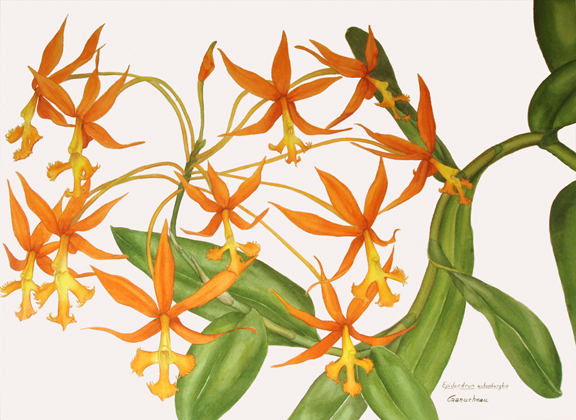 Epidendrum schomburgkia; watercolor art painting of the orchid species reed-stem