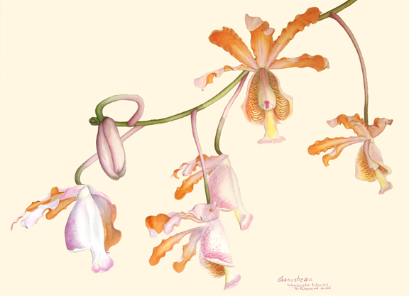 Schonburgkia tibicinus; watercolor art painting of the orchid species