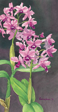 Cattleya bowringiana, watercolor painting and print of the orchid species