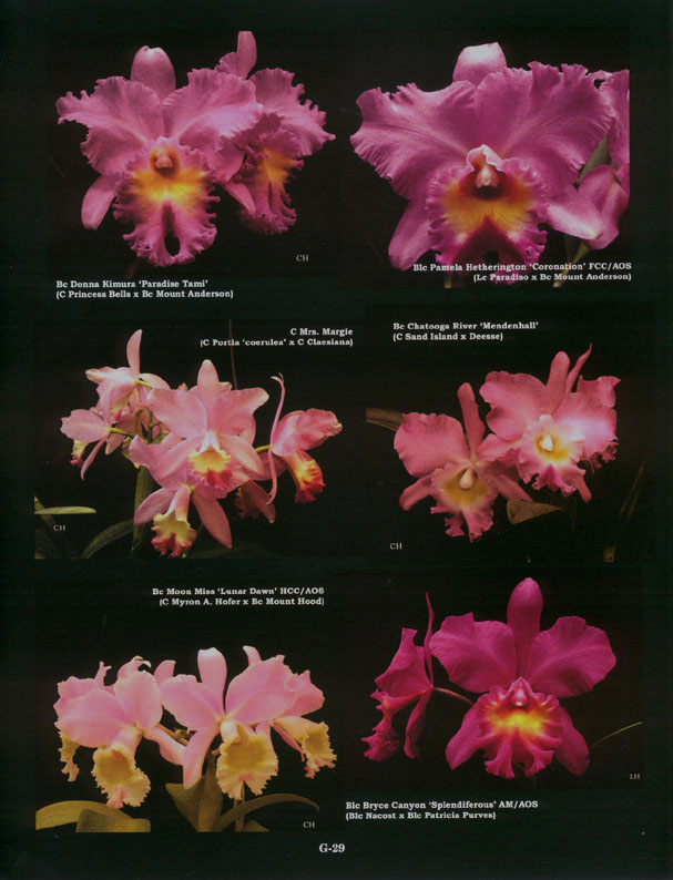 Pink Hybrids, Preview of Gallery in American Cattleyas