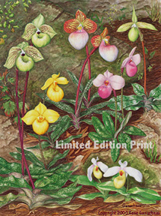 orchid art print of parvisepalum paphiopedilums in a natural setting.