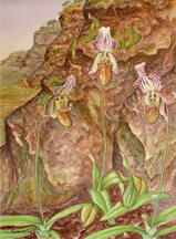 Watercolor painting of the Asian lady slipper orchi, Paphiopedilum farrieanum.