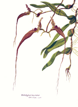 orchid species painting bulbophyllum fascinator